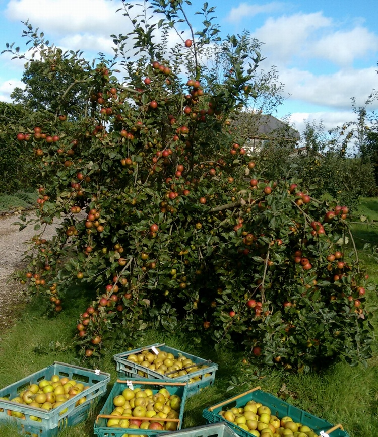 Three Autumn Orchard Tips