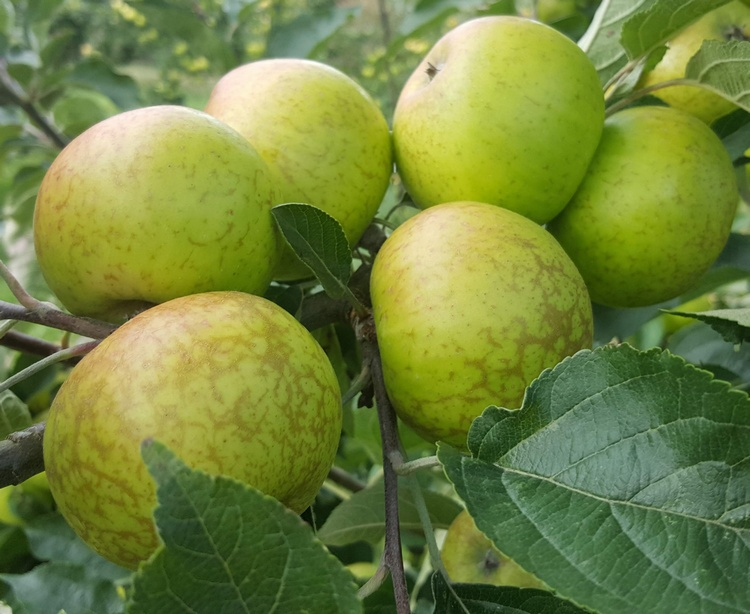 Saving Dorset Apple Varieties