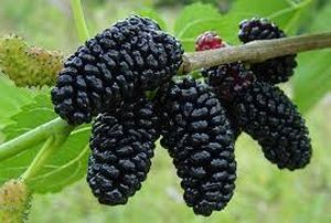 Mulberry Tree Fruit Images